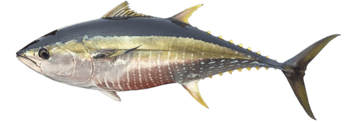 Yellowfin Tuna 23
